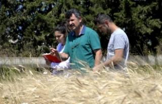 Buğdayın atası siyez, çiftçinin umudu
