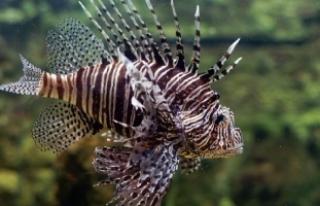 Pasifik kökenli Aslan balığı, Antalya Körfezi'ne...