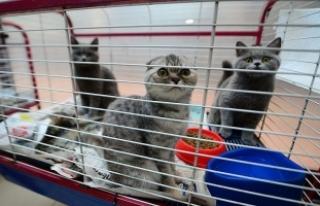 Yurda kaçak getirilen İskoç kedileri için bin...