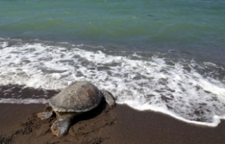 Bakanlık 150 deniz kaplumbağasını hayata döndürdü