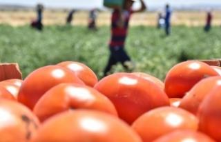 Rusya Türkiye'den domates ithalatına yeşil...