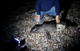 Ağa takılan yavru Akdeniz foku öldü
