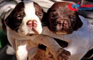 'Çatalburun' köpekleri saf ırk olma yolunda