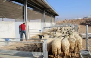 Hayvancılığı bırakan köylülere koyun dağıtıldı