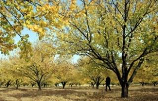 Kayısı ağaçları renk cümbüşüyle ilgi çekiyor