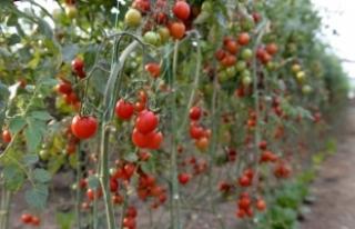 Rusya almayınca domatesi Beyaz Rusya'ya sattık