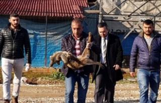 Bursa'da yavru tilkiyi, kuyruğunu kesip, ayaklarından...