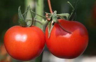 Sera ürünleri domatesin 'ateşini' düşürdü