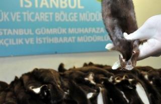 Atatürk Havalimanı'nda 200 adet porsuk kürkü...