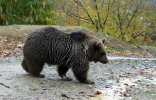 Doğu Karadeniz'de sayıları artan ayılar, kameralı...
