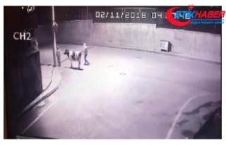 İnek hırsızlığı kamerada