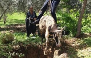 Adana'da foseptik çukuruna düşen inek kurtarıldı