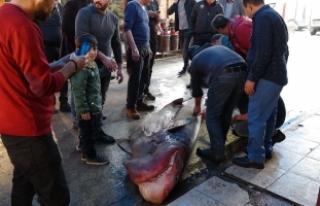 Akdeniz'in en büyük köpek balığı yakalandı