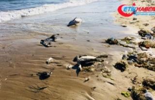 Sinop'ta ölü yunuslar kıyıya vurdu