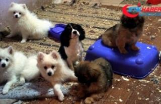 Yurda kaçak getirilen 30 köpek için ihale yapıldı