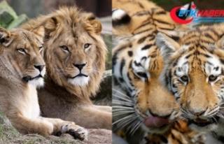 Almanya'da ikişer aslan ve kaplanla bir jaguar...