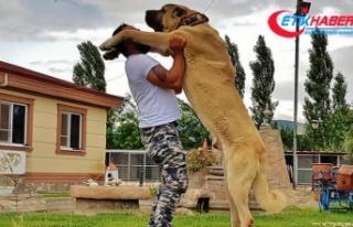'Anadolu aslanı'na yabancı ilgisi