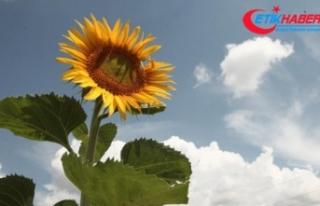 'Doğanın sarı gelini' çiçek açıyor