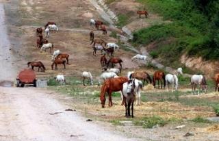 Beykoz'da 220 at günlerdir güneş altında...