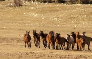 Eynif Ovası'nın yılkı atları belgesele konu...
