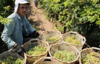 Türkiye'nin yaş üzüm ihracatı yüzde 43...