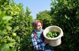 Limon hasadında yük kadınlarda