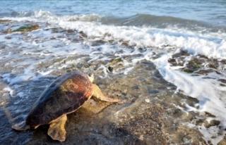 Mersin'de tedavi edilen deniz kaplumbağaları...
