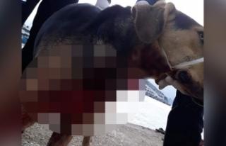 Köpek boğazından bıçaklanmış halde yaralı...