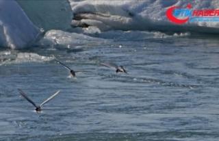Kuzey Kutup bölgesi kuşlar için artık 'güvenli...