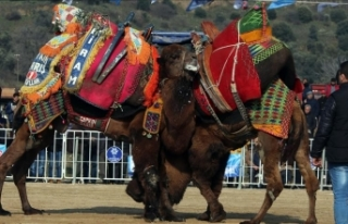 Aydın'da düzenlenen festivalde 130 deve güreştirildi