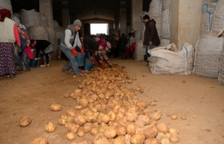 Sertifikalı Ahlat patatesi tohumları yurt dışı...