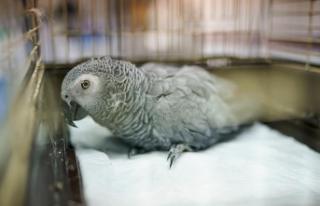 Şiddete uğrayan papağan tedavi altına alındı