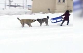 Çocuklar ile köpeklerin kızak kapma mücadelesi