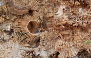 Doğa yürüyüşünde, 98 milyon yıllık deniz canlısı...