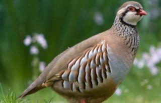 Doğal hayata sülün ve keklik desteği