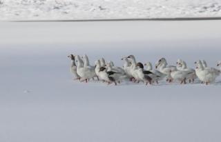 Donan gölde yiyecek arayan kazlara yardım eli uzandı