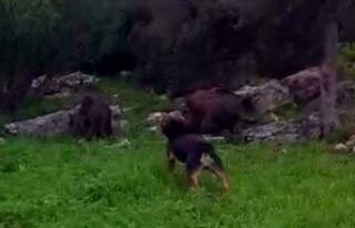 Köpeğin iki yaban domuzuna karşı mücadelesi görüntülendi