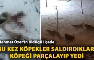 Liselinin öldüğü ilçede, bu kez köpekler saldırdıkları...
