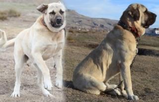 'Aksaray Malaklısı' köpeklere yoğun...