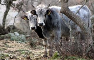 'Boz sığır' ırkı devlet koruması altında...