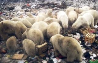 Rusya'da kutup ayıları nedeniyle ilan edilen 'acil...