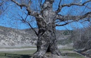 7 asırlık çınar ağacı, yoğun ilgi görüyor