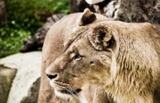 Çekya'da bir kişi beslediği aslan tarafından...