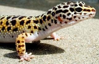 İnternetten satılık Leopard Gecko
