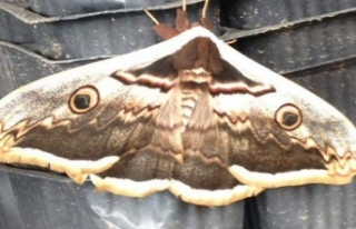 Tavus kelebeği, görenleri şaşırttı