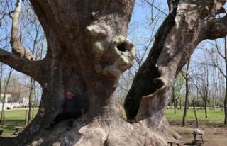1200 yıllık çınar 'anıt ağaç' olarak...