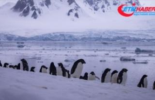 Antarktika'da 2016'da binlerce yavru penguen...