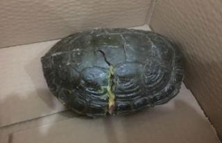 Batman'da bulunan kabuğu kırık kaplumbağaya...