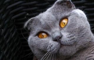 Brüksel'de bazı kedi cinslerinin yetiştirilmesi...