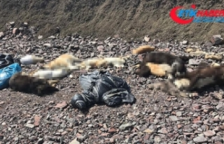 Çubuk'ta onlarca sokak köpeği ölüsü bulundu